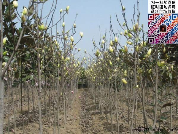 园林乔木植物苗木黄玉兰图片