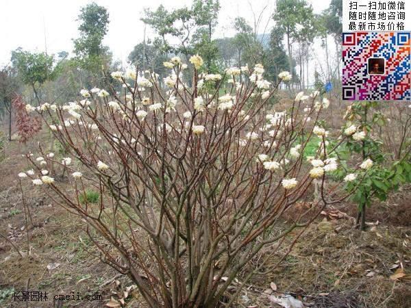 结香花,白花树