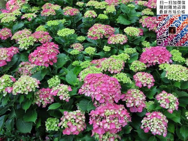 大量供应30~40~50~60~公分八仙花