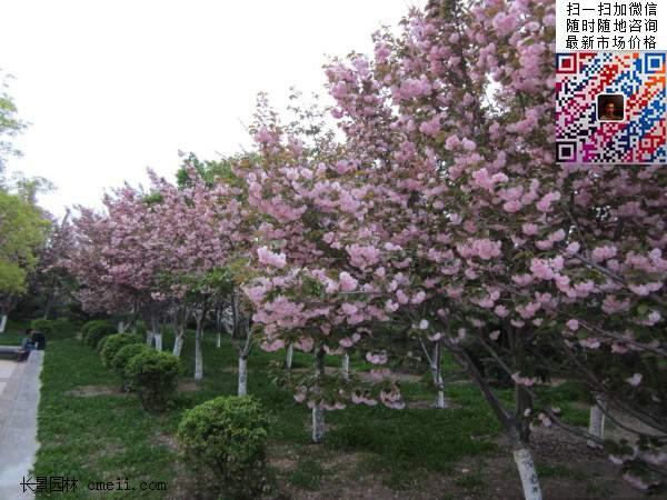 樱花树种植技术管理