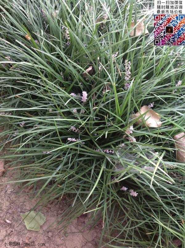 麦冬草园林用途