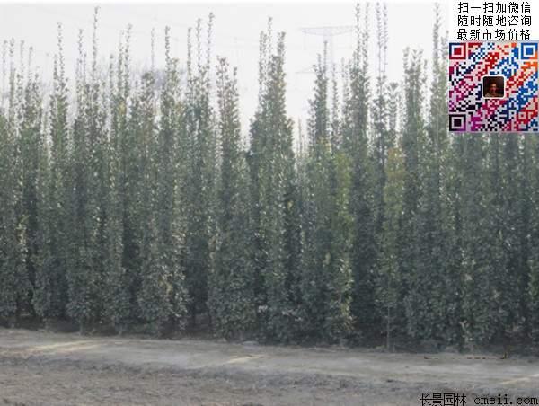 北海道黄杨