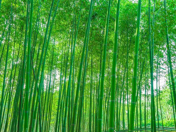 耐寒竹苗竹子