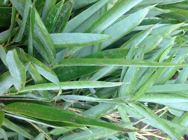 箬竹苗竹子园林植物