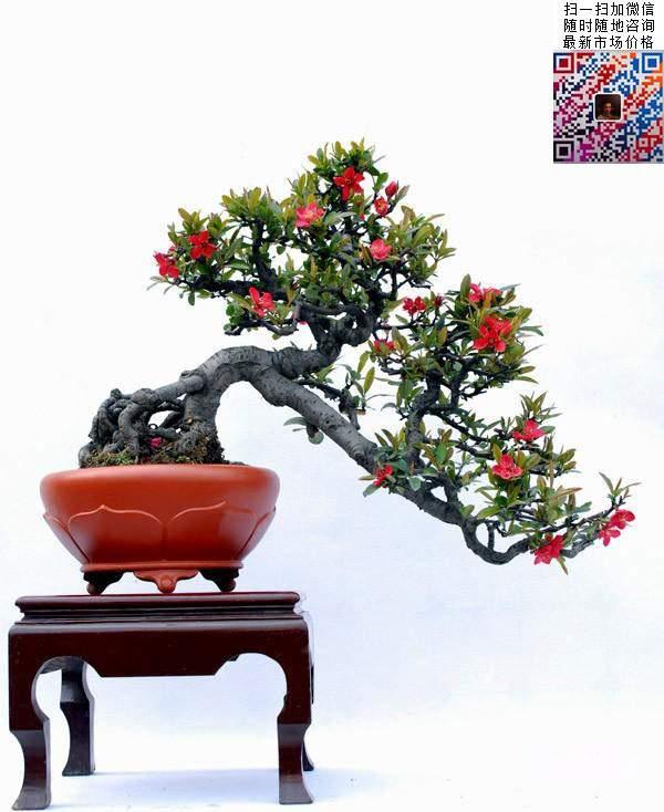 贴梗海棠盆景