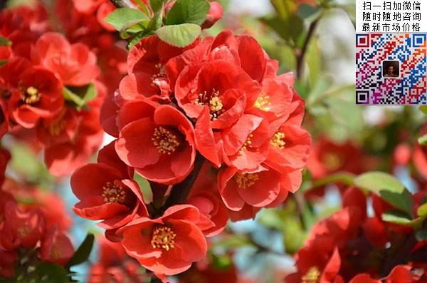 贴梗海棠花朵