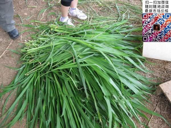 十大高产牧草皇竹草图片