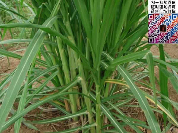 皇竹草图片