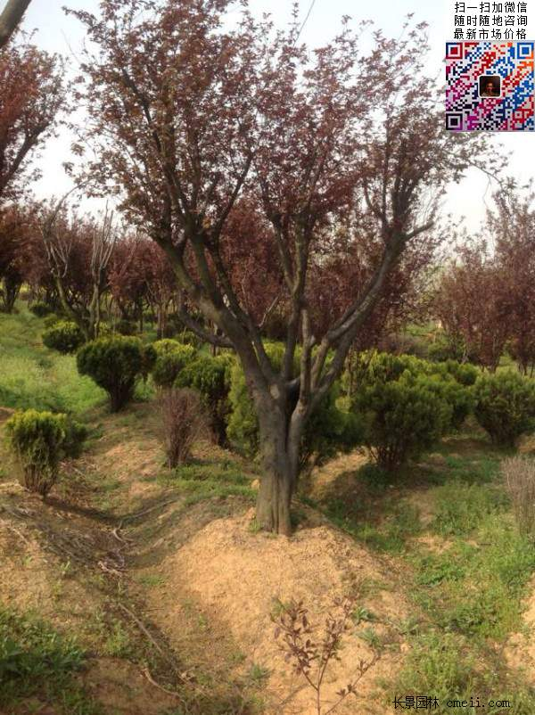 红叶李树图片