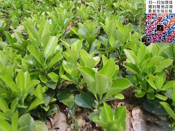 沭阳大叶黄杨图片欣赏-新闻中心-江苏沭阳长景园林