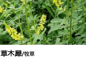 草木犀种子