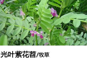 光叶紫花苕种子