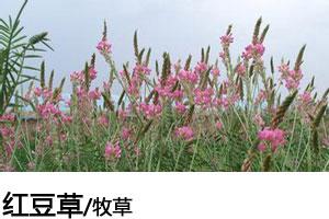 红豆草种子