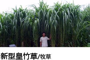 新型皇竹草种子