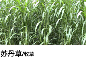 苏丹草种子