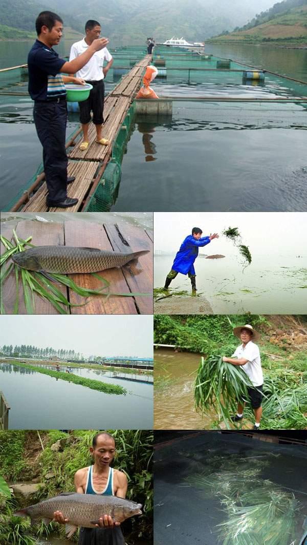 养鱼牧草品种