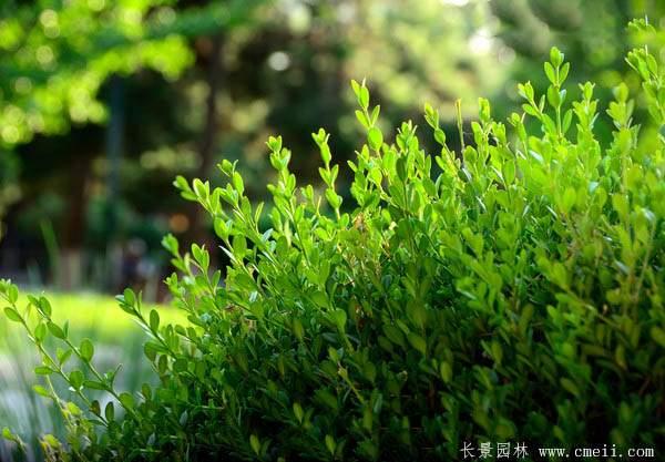 小叶黄杨图片