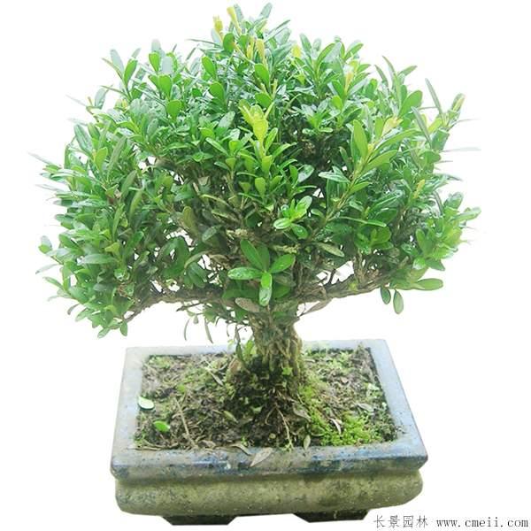 小叶黄杨盆景图片
