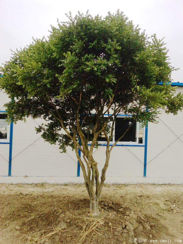 小叶黄杨树图片