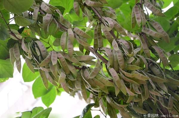紫荆树果荚种子