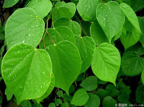 紫荆树叶子图片