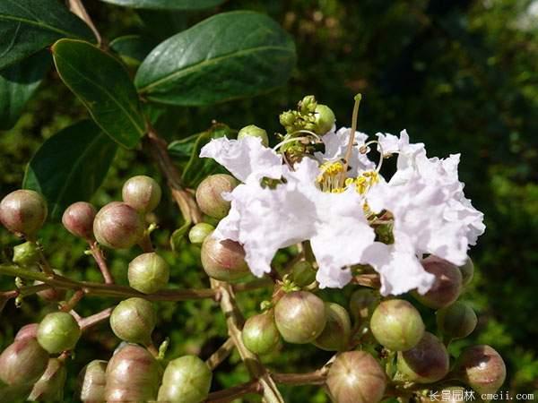紫薇种子图片