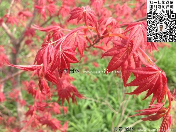 日本红枫树叶