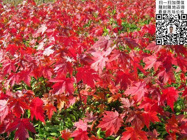 美国红枫树叶图片