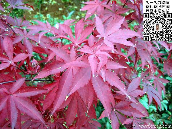 中国红枫树叶图片