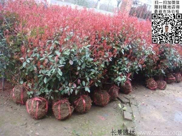 红叶石楠球