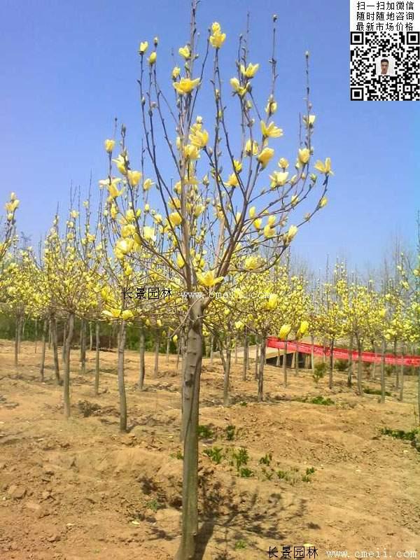 园林乔木植物黄玉兰图片