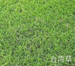 台湾草四季青草坪