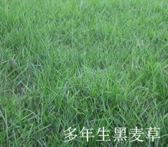 多年生黑麦草草坪