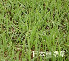 日本结缕草