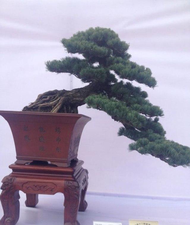 大阪松和五针松的特点简介以及如何区分