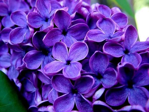 紫丁香花的栽培养护技巧