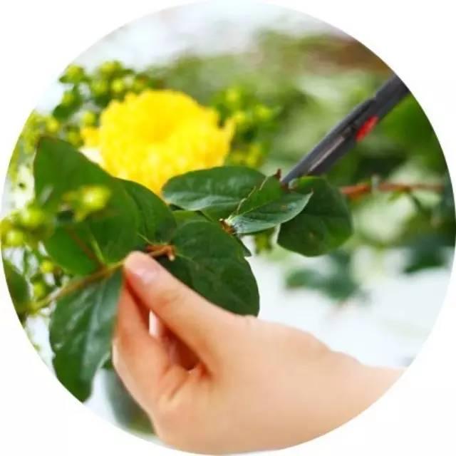 花卉修剪十大技巧,养花人必学!