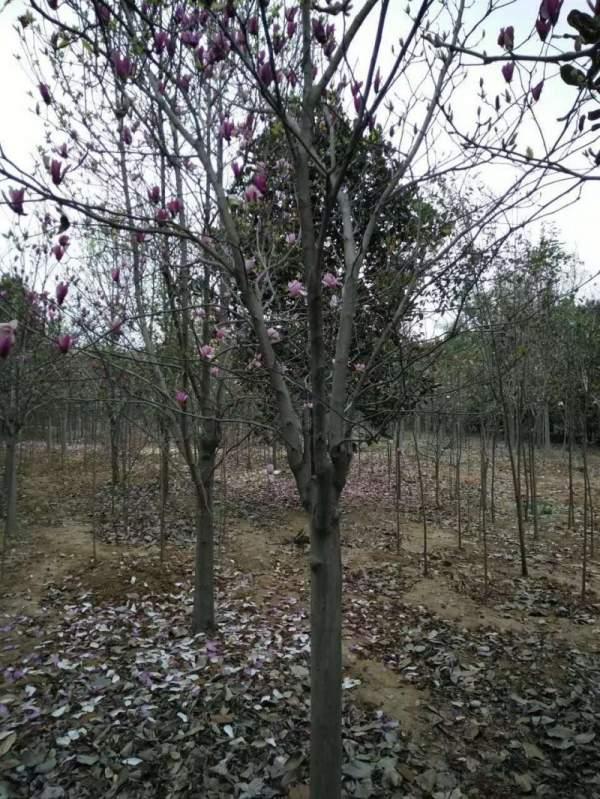紫玉兰树图片
