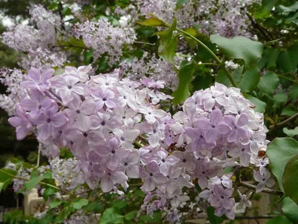 丁香花的栽种方法以及养养护技巧