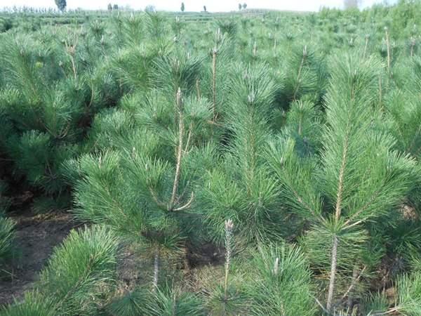 黑松种子什么时候种好,怎么种发芽率高?