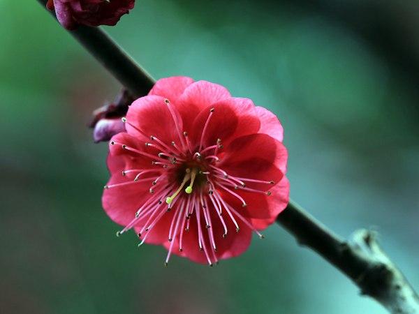 红梅花一般什么时候开花?