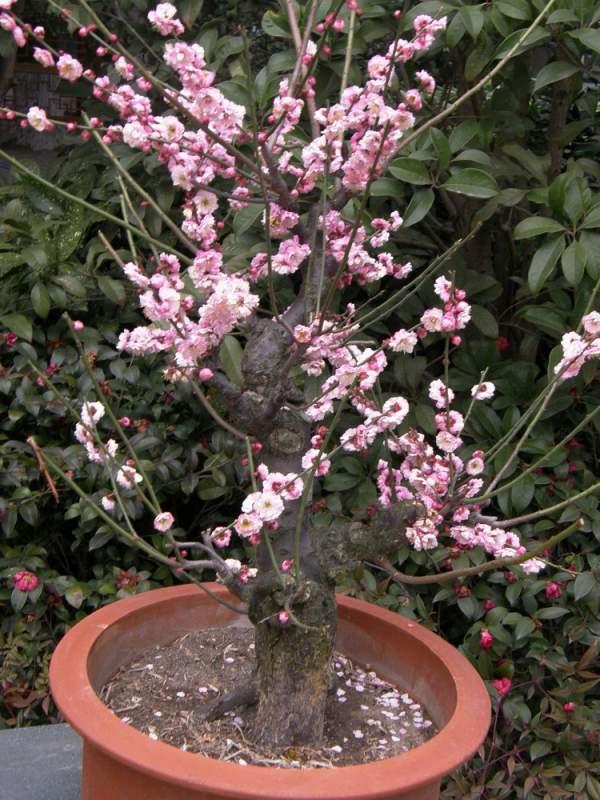 盆栽红梅如何制作及养护管理技巧
