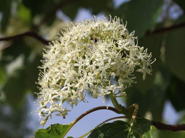 红瑞木的生长习性是什么,适合在什么地方种植