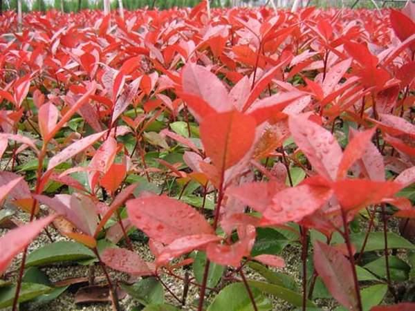 红叶石楠的培养维护办法