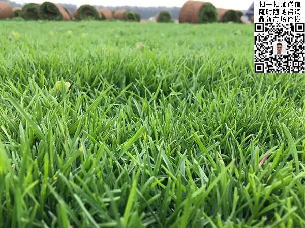 高羊茅草坪种子种植出的效果