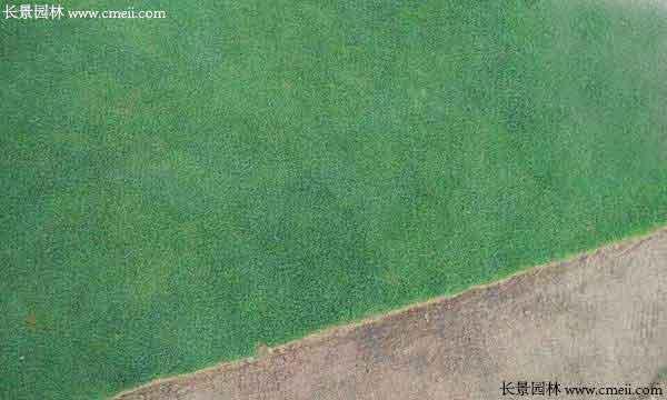 剪股颖种子种植出来的草坪效果