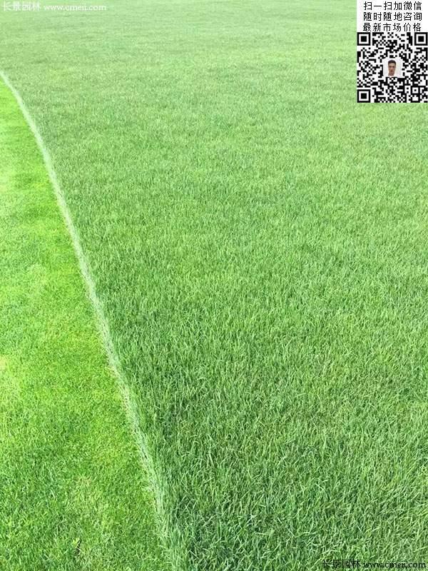 修剪的多年生黑麦草草坪图片