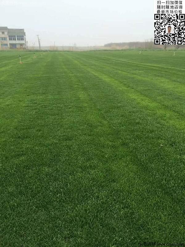 多年生黑麦草种子种植2月的效果