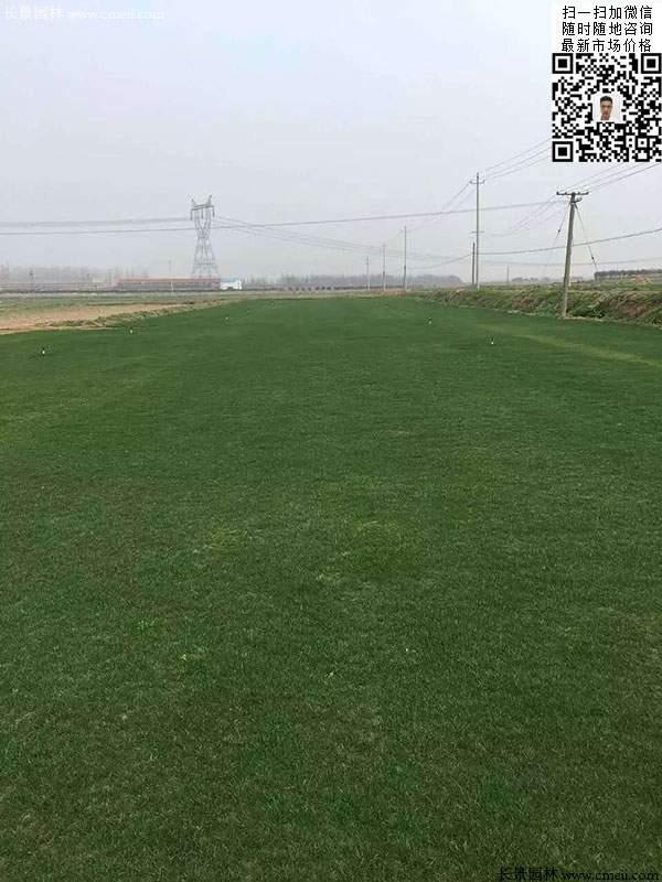 黑麦草种植效果