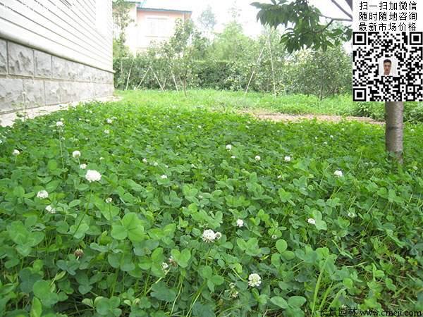 白三叶小区绿化